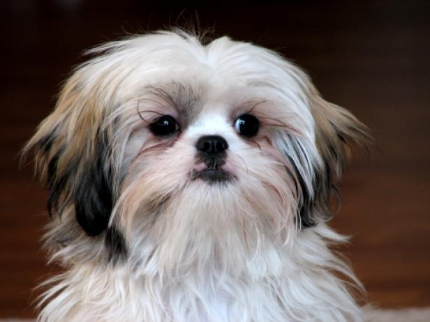 Shih Tzu [Wikimedia Commons]